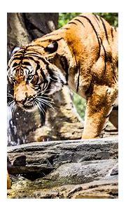 Tiger 4k Ultra HD Wallpaper   Background Image   3840x2160 ...
