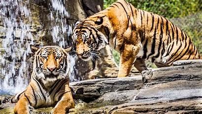 Tiger 4k Tigre Wallpapers Tigers Animals Sfondi