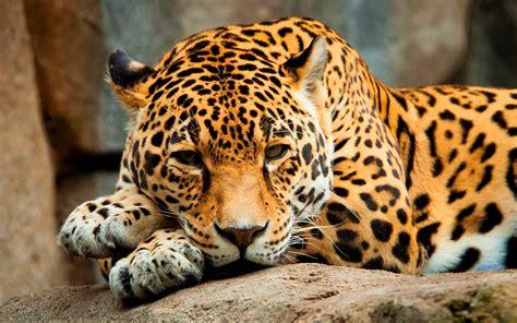 Jaguar Desktop Wallpaper by Jaguar Cat Hd Desktop Wallpapers 4k Hd