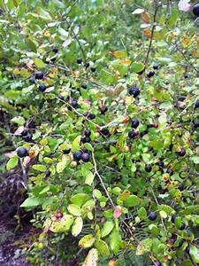 Wild Blueberries | 40acrewoods
