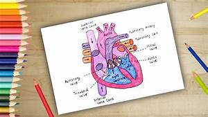 How To Draw Human Heart Anatomy Colour Drawing For Kids
