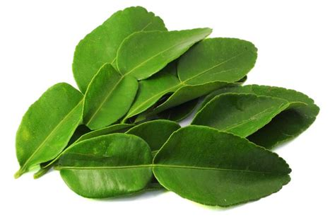 lime leaves kaffir lime leaves balancing nutrition