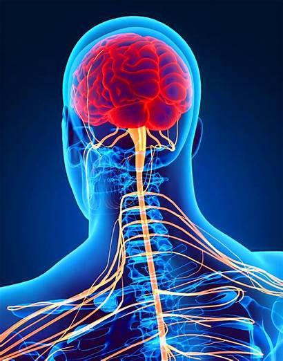 Nervous System 3d Brain Spinal Human Cns