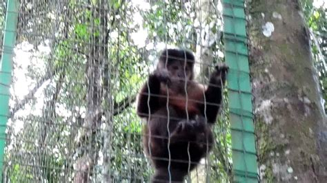 masturbating monkeyscimmia che  masturba youtube