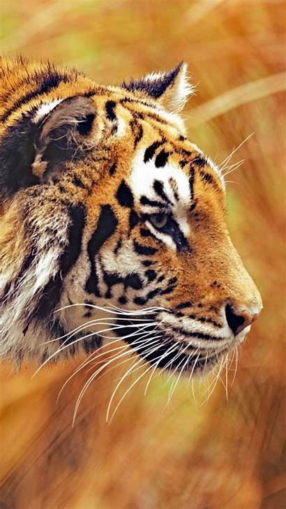 Tiger Animals Wallpapers Animal Iphone Tigre Papel