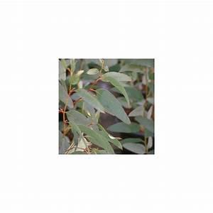 Eucalyptus Plante D Intérieur : eucalyptus niphophila plantes et jardins ~ Melissatoandfro.com Idées de Décoration
