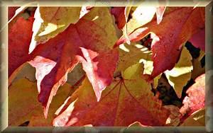 Kostenlose Bilder Herbst : herbst hintergrundbild gro e weinbl tter herbstbild als hintergrund ~ Yasmunasinghe.com Haus und Dekorationen