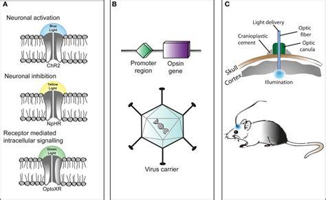 frontiers optogenetics   neuromodulation tool