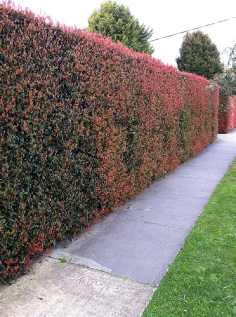 best bushes for hedges top 10 best plants for hedges and how to plant them