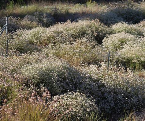cal plants eriogonum fasciculatum foliolosum california buckwheat