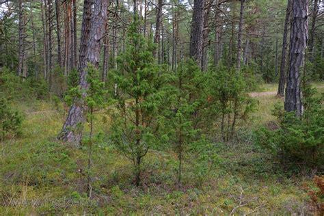 Kadiķi priežu mežā - Parastais kadiķis (Juniperus communis ...