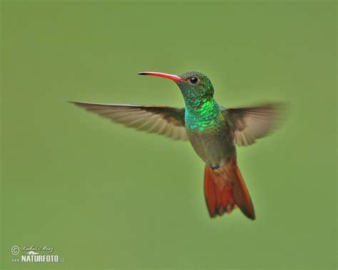 rufous tailed hummingbird photos rufous tailed
