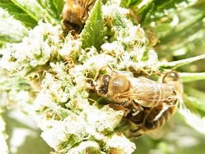 Wie Machen Bienen Honig : nicolas trainerbees der imker dessen bienen aus cannabis harz honig machen ~ Whattoseeinmadrid.com Haus und Dekorationen