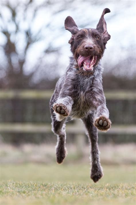 german wirehaired pointer shedding german wirehaired pointer fci 7 pointers