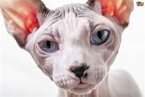 How To Make Sure A Sphinx Cats Skin Stays Healthy