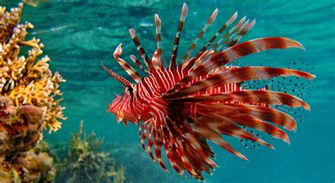 pesce scorpione pesce leone scorpena volante