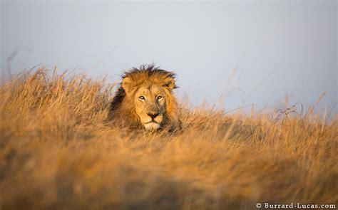 lion resting   grass burrard lucas photography