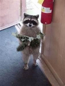 Raccoon Holding a Cat - Urban Legends