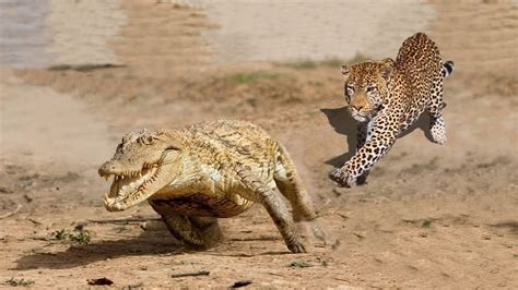 Amazing Jaguar Hunting Crocodile While Sleeping