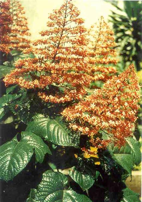 kumpul kumpul gambar tanaman obat tradisional