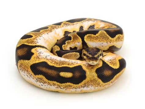 Python Shedding Tips by 100 Python Shedding And Feeding Pythons A