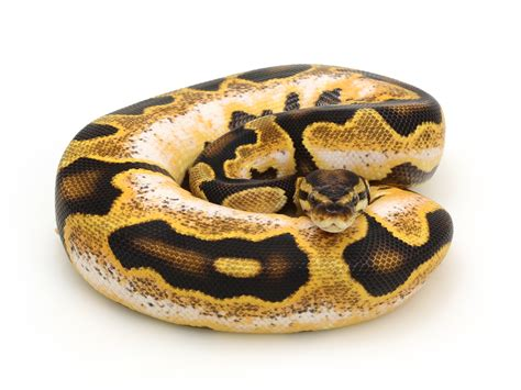 python shedding tips 100 python shedding and feeding pythons a