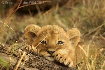 Lion Cub Cubs Adorable Animals Background Fanpop
