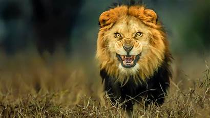 Lion Wild Animals Godfather Facts Wallpapers Angry