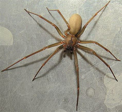 Christmas Tree Types Usa by Brown Recluse Spiders Uncommon In Wisconsin 2 Reported