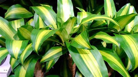 dracaena fragrans corn plant guide  house plants
