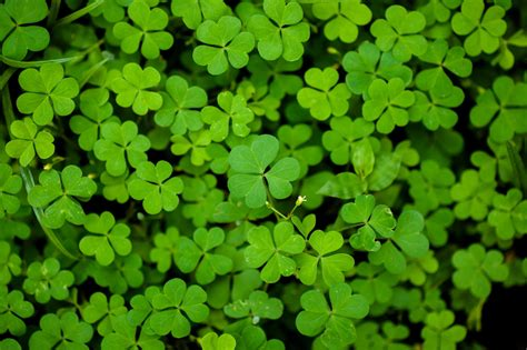 clover hd wallpapers free download