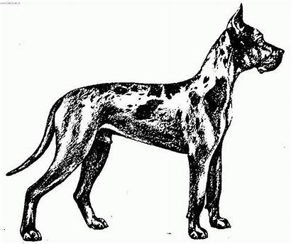 Dane Coloring Dog Pages Dogge Standard Deutsche