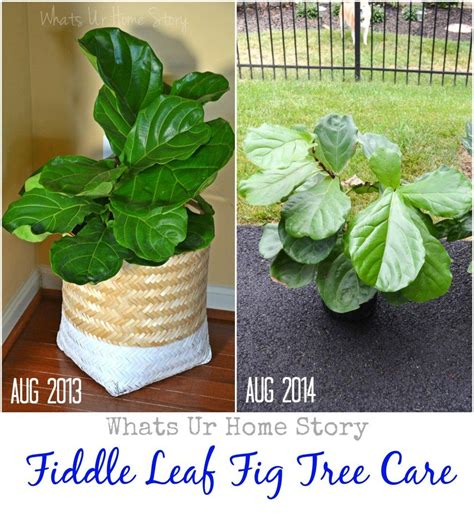 fiddle leaf fig tree care bloom fiddle leaf fig