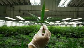 Berkeley researchers have found a way to make the main chemicals in marijuana, THC and CBD, from yeast….