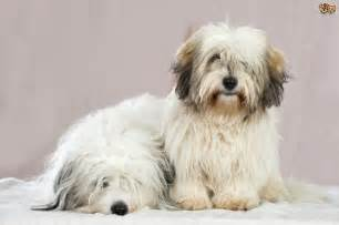 coton de tulear hereditary health and genetic diversity
