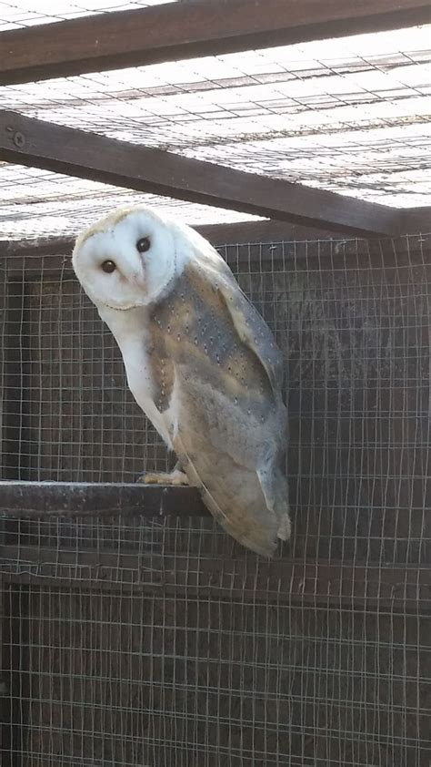 Barn Owl Breeders by Barn Owl For Sale Burton Upon Trent Staffordshire