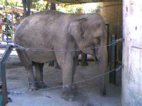 ingresso zoo di pistoia barrito elefante zoo di pistoia
