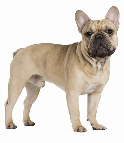 Bulldog French Transparent Spaniel Background Pug King