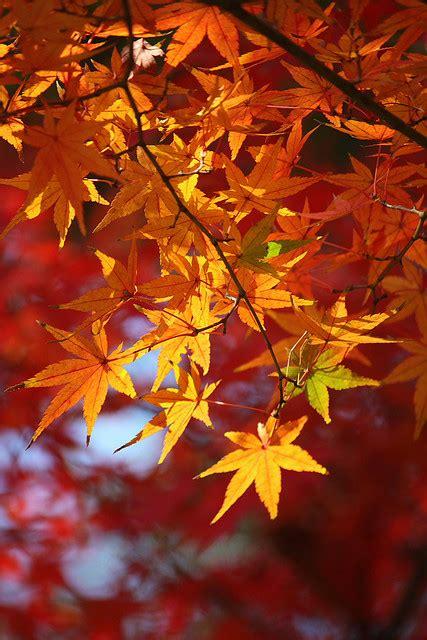 foglie acero inorto guida allorto fai da te