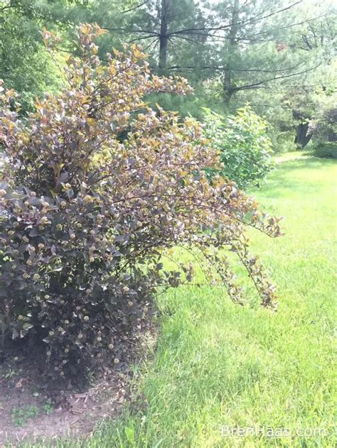 what are some exles of shrub plants quora
