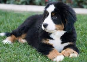 Cute Dogs Dont Shed by Cute Big Dog Breeds Vs Small Dog Breeds Dog Breeds Puppies