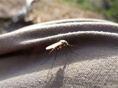 muecken moskitos stechmuecken wir lieben muecken