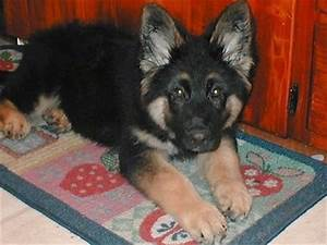 King Shepherd Dog Breed Information and Pictures