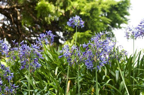 afrikanische lilie überwintern schmucklilie 187 wann sollten sie die bl 252 ten abschneiden agapanthus