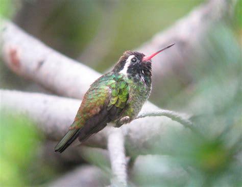 pioneer birding az white eared hummingbird 07 28 10