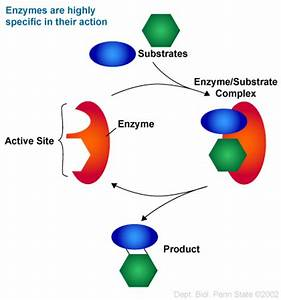 diagram enzyme substrate complex - DriverLayer Search Engine