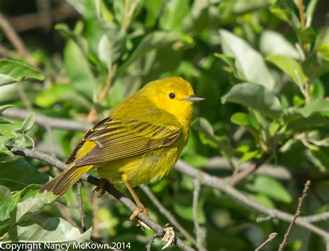 photographing the yellow warbler and thoughts on bird