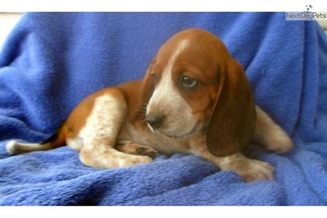 red beagle puppy