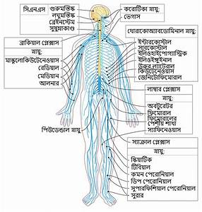 File Nervous System Diagram-bn Svg
