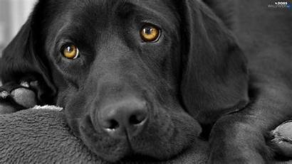 Labrador Retriever Czarny Dog Dogs Tapety Animals